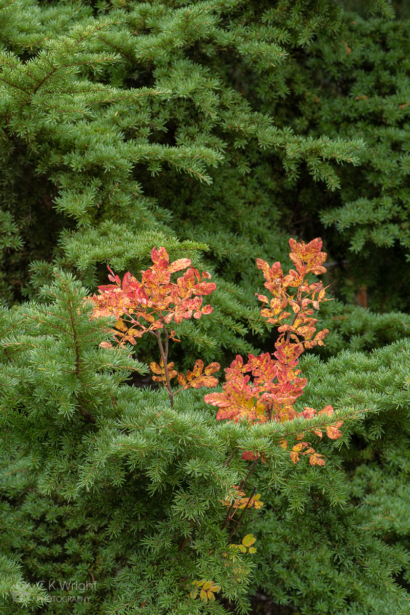Fall, Blueberry and Mountain Hemlock